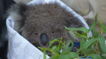 Mobiel dierenziekenhuis helpt getroffen dieren in Australië