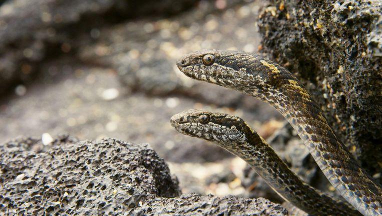 Slangen op de uitkijk naar leguanenjongen. Beeld BBC