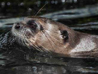 De Schorre zet otter in de kijker met tentoonstelling