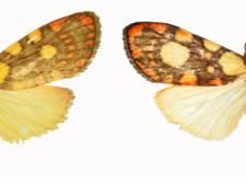 Stagiaire Naturalis ontdekt nieuwe vlindersoort