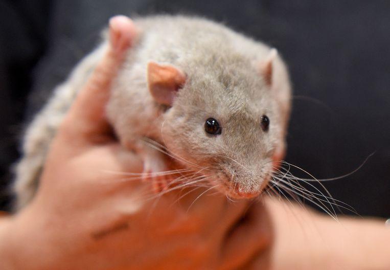 Net als bij mensen, is er wel een grens aan de empathie die de ratjes kunnen opbrengen. Beeld Shirlaine Forrest / Getty