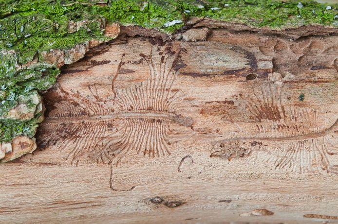 Sporen van de iepenspintkever onder de bast van een iep. De kever geldt als een van de voornaamste verspreiders van een uiterst besmettelijke schimmelziekte.