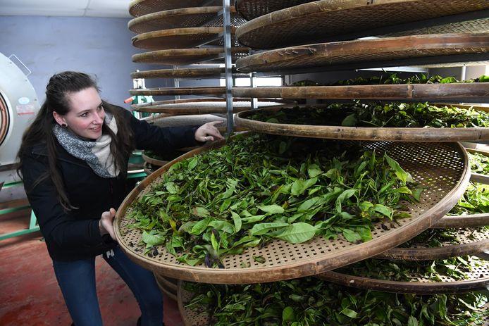 Dionne Oomen met de theebladeren, die verwerkt worden tot thee.