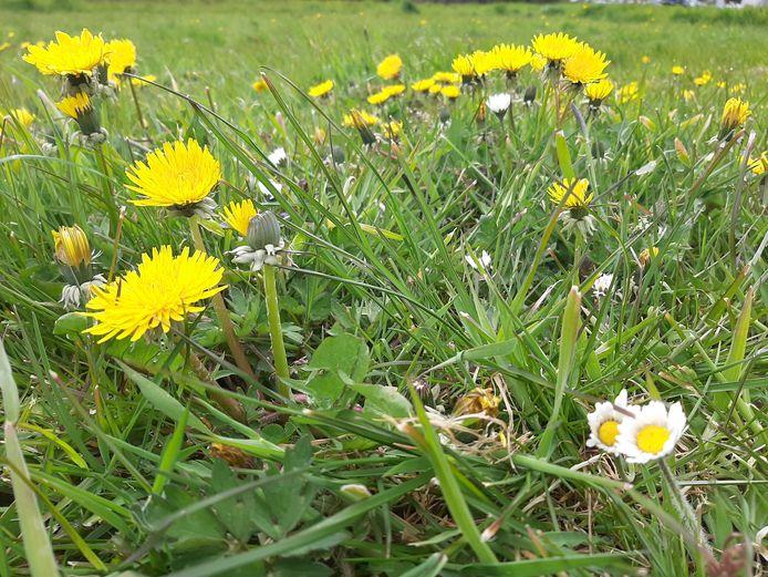 Als gras minder vaak wordt gemaaid, krijgen inheemse bloemen de kans om uit te groeien