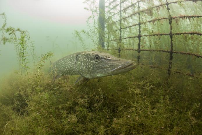 De Zutphense fotograaf Patrick van Gemert is genomineerd voor de Lowland Photo Contest met deze foto van een snoek in het Zutphense Bronsbergenmeer.
