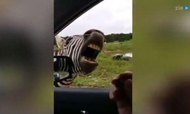 Een zingende zebra