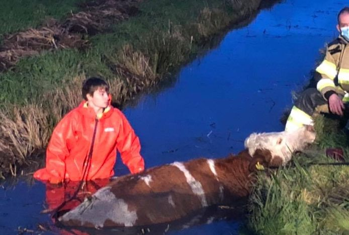 Een koe is in de sloot beland aan de Lange Avontuurseweg in Culemborg.