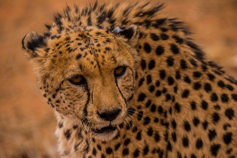 Een cheetah met een zender in zijn oor in Namibië.  Beeld Icarus/ Sergio Izquierdo