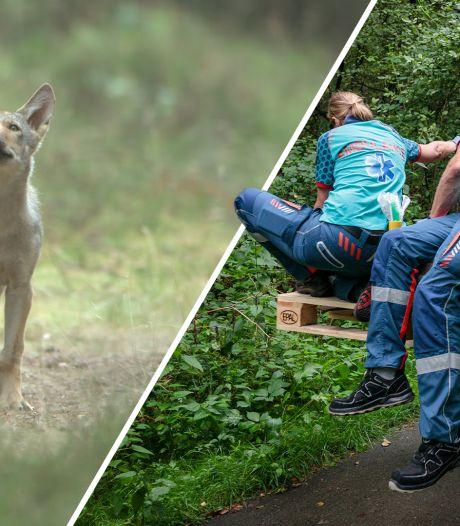 Nieuws gemist? Exclusieve beelden Veluwse wolven. En: bijzondere boerenbijstand bij Beerze
