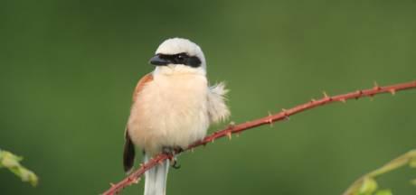 Zeldzaam vogeltje bereidt zich op geheime plek op de Utrechtse Heuvelrug voor op enorme vliegreis