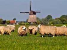 Tientallen schapen doodgebeten in Friesland: wolven mogelijk de daders