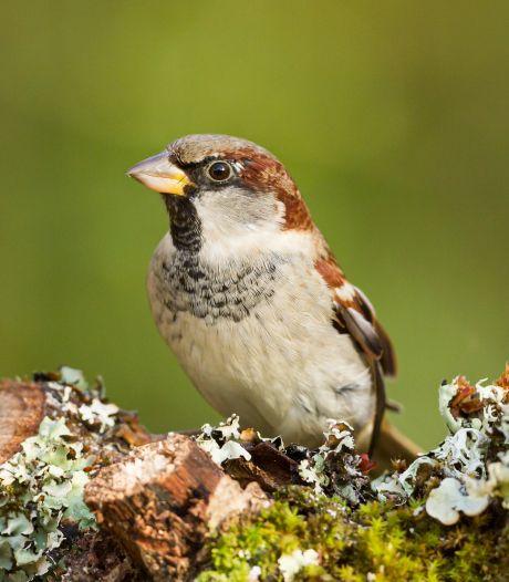 Recordaantal Nederlanders deden mee met tuinvogeltelling: 'Mus is terug'