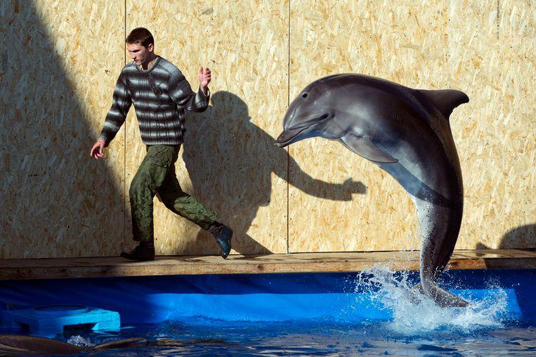 Een werknemer van het Oceanarium in Sevastopol, op de Krim, oefent met een van de dolfijnen. Beeld AP