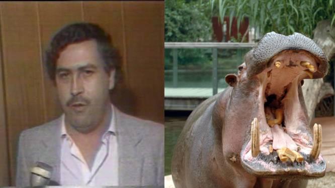 Colombia steriliseert nijlpaarden van beruchte drugsbaron Pablo Escobar