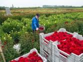 Bloemencommissie: 'Ook zonder corso moeten dahlia's de grond in'