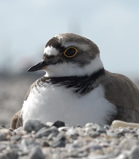 Marker Wadden populair bij broedvogels