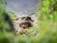 Dramatisch hoe botulisme uitpakt in Kristalbad: vijftig dode vogels na slechts één uur zoeken