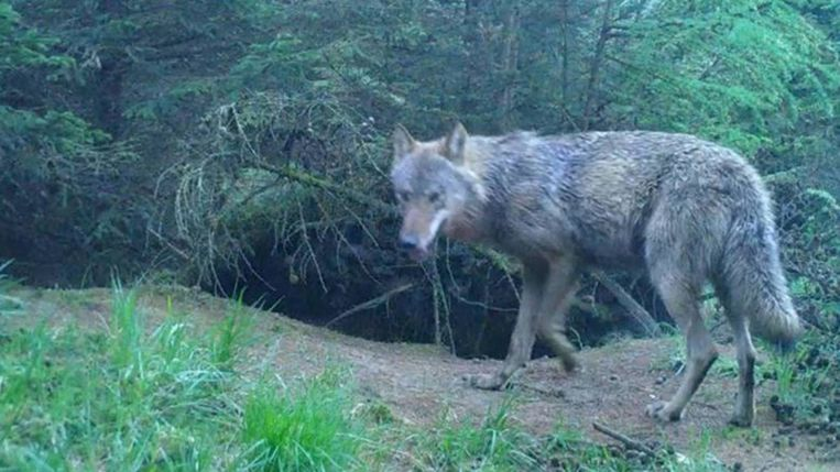 De wolvin die solitair op de Midden-Veluwe leefde, is mogelijk het zaterdag aangereden dier.  Beeld staatsbosbeheer