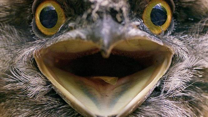 Dit is officieel de populairste vogel op Instagram: de kikkerbek