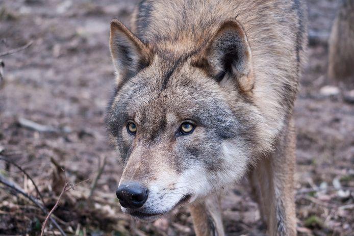De wolf (niet de wolf op de foto) is al enkele weken in Brababnt.