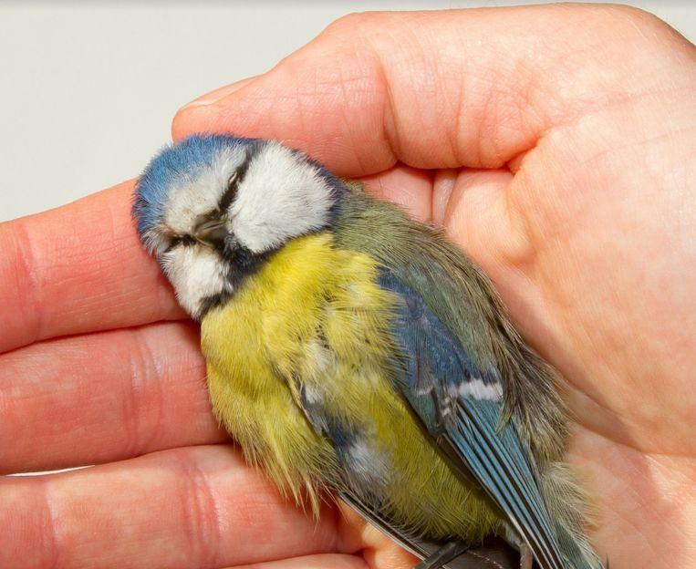 Een dode mees. Beeld Velt en Vogelbescherming Vlaanderen