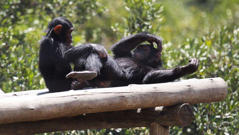 Twee jonge chimpansees in een natuurreservaat in Kenia zijn verdiept in het vlooien. Beeld epa