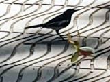 Suthep is plots toeschouwer van een strijd tussen een bidsprinkhaan en een vogel