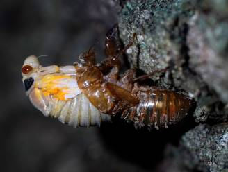 Biljoenen cicaden komen na 17 jaar weer boven voor vier weken durende orgie
