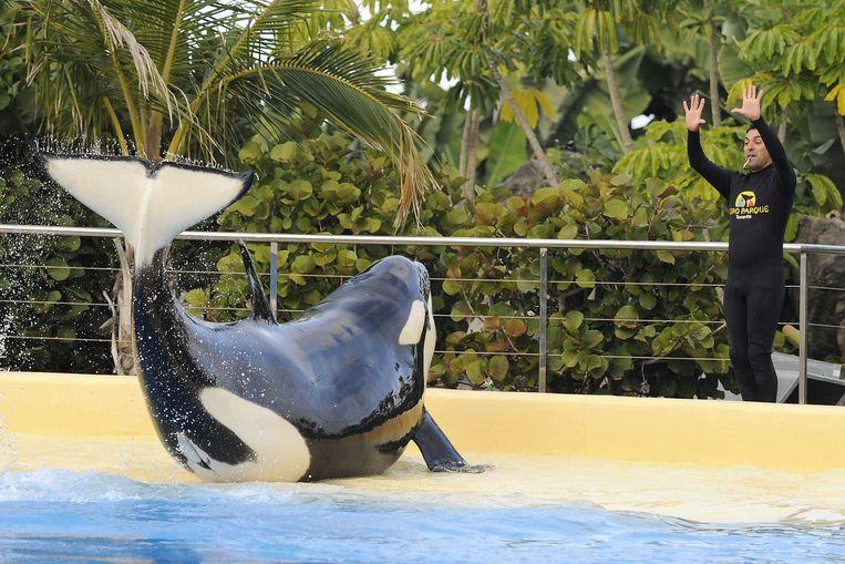 Orka Morgan tijdens een training in haar bassin in Loro Parque op Tenerife. Vandaag oordeelt de Raad van State of de overdracht van Morgan naar Tenerife in 2011 rechtmatig was.  Beeld ANP