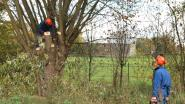 Knotteam komt gratis bomen snoeien (in ruil voor brandhout)