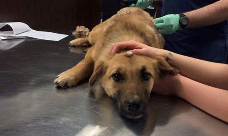 Hond overleeft aanval met pijl op het nippertje