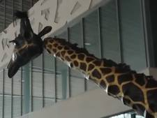 Levensechte giraffen op Rotterdam Centraal