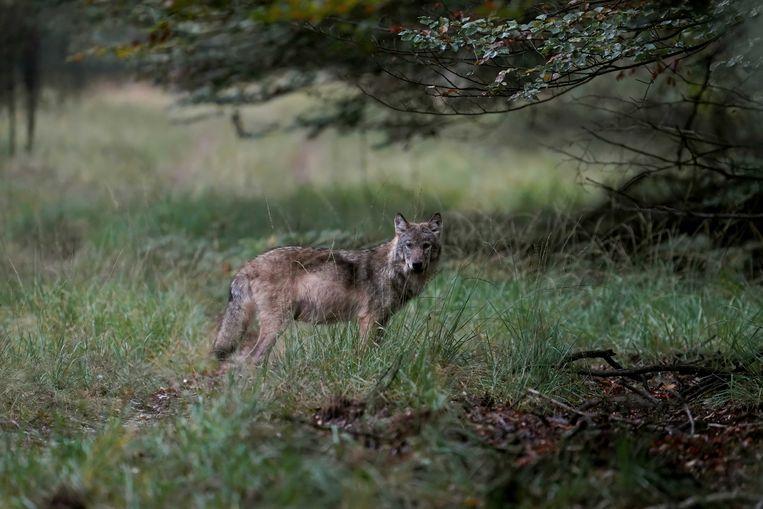 Een wolf op de Veluwe, vastgelegd door natuurfotograaf Otto Jelsma.  Beeld ANP
