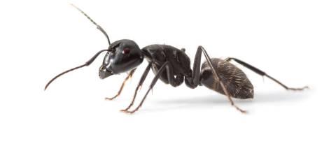 Les fourmis débarquent: la solution toute simple pour les repousser