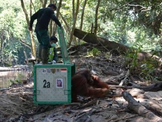 IN BEELD. Tien geredde orang-oetans weer vrijgelaten in het wild, voor het eerst sinds de coronapandemie begon
