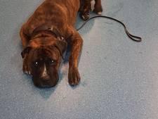 Dierenpolitie neemt mishandelde 'vriendelijke' boxer in beslag