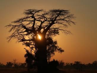 Groot aantal eeuwenoude Afrikaanse baobabbomen plots gestorven