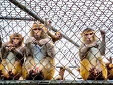 Minder apen gebruikt voor experimenten in Rijswijks testcentrum BPRC