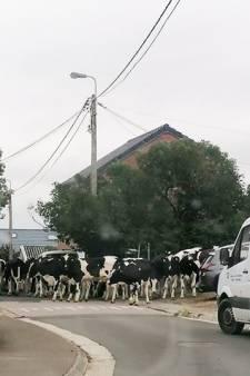 Une vingtaine de vache en liberté dans les rues de Fléron