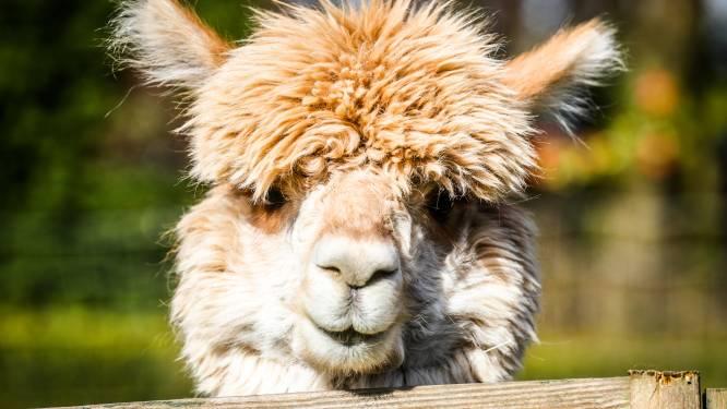 Alpaca's zijn duur en worden oud, waarschuwt Weyts