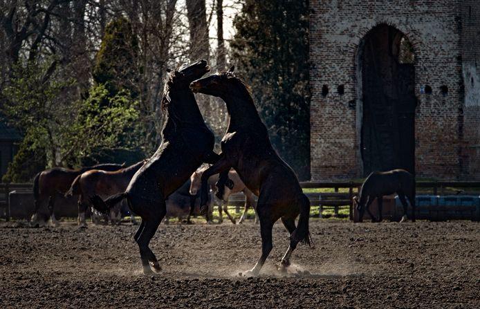 Dansende paarden bij de oude toren van Nederwetten.