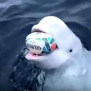 Witte dolfijn die met rugbybal speelt in oceaan is mogelijk Russische 'spionwalvis'