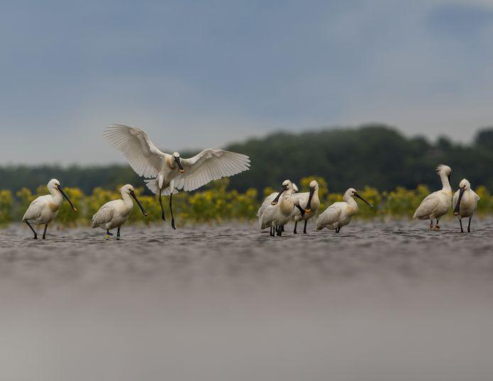 Rond het Markiezaatsmeer bij Bergen op Zoom leeft, op de Wadden na, de grootste kolonie lepelaars van Nederland. Brabants Landschap gaat er nog meer broedgelegenheid maken.