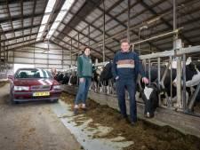 Op koeiensafari: met de auto door de stallen en op de foto met een koe
