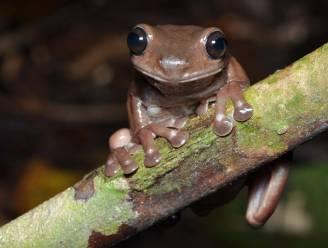 Wetenschappers ontdekken nieuw 'chocoladekikkertje' in moerassen van Nieuw-Guinea