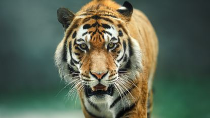 'Dynasty': BBC kondigt nieuwe spraakmakende natuurreeks met David Attenborough aan