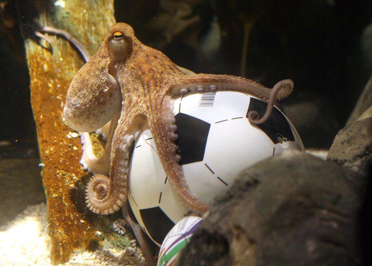 Het dier waarmee het allemaal begon: octopus Paul uit Duitsland. Voorspellen doet Paul niet meer, want hij is inmiddels overleden. Beeld AFP