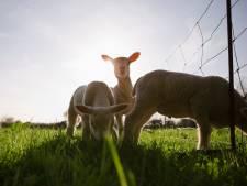 Ik was eraan toe om naar een Drents schaap te staren: de geest heeft rust nodig.