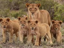 Troep leeuwen afgeschoten: ontsnapte tweemaal uit wildpark, doodde tien schapen