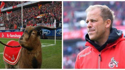 Een geitenbok als levende mascotte, een coach die ontslagen wordt met de titel in zicht: 'specialleke' FC Keulen is terug in Bundesliga